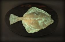 Upinė plekšnė (Platichthys flesus)